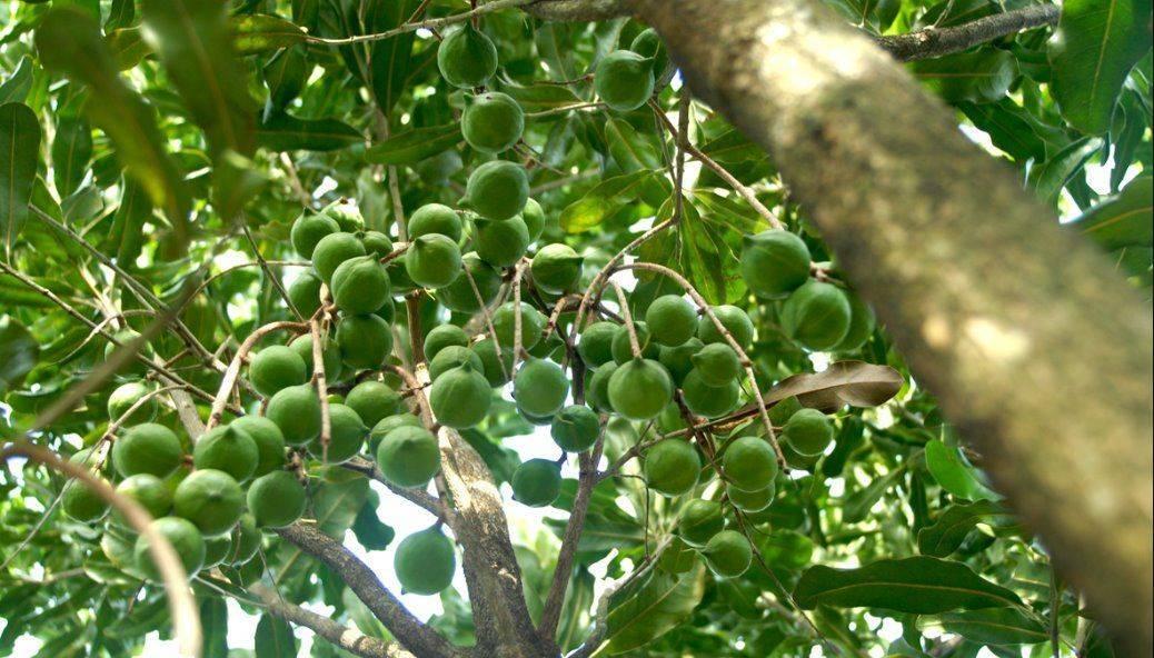 Орех макадамия: полезные свойства и противопоказания, польза и вред, где растет, фото