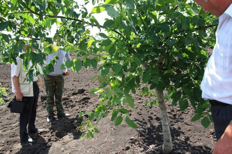 Выращивание и уход за грецким орехом