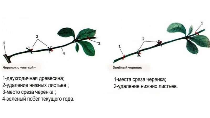 Особенности размножения сосны