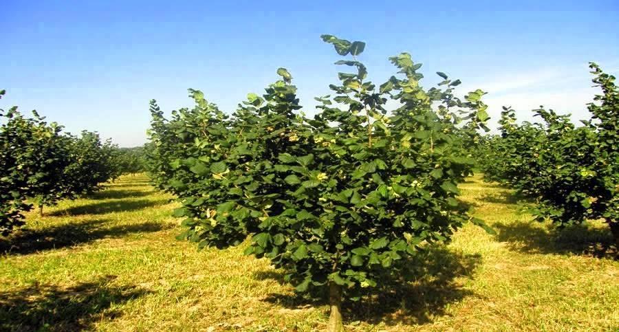 Фундук, посадка и уход. технология выращивания фундука