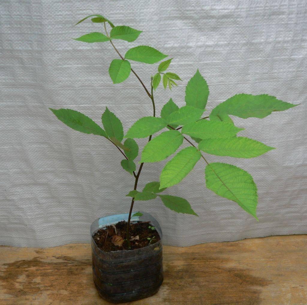 Выращивание маньчжурского ореха из семян и уход за ним