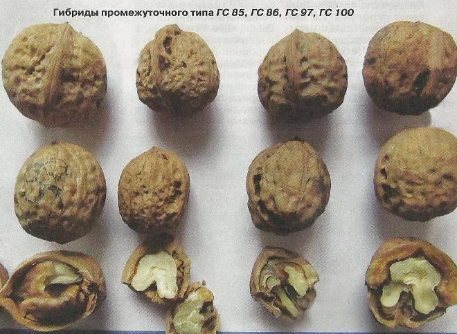 Перегородки грецких орехов: лечебные свойства, при каких болезнях применяют