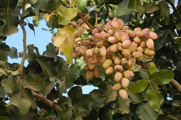 Фисташки: орех или бобовые, как их делают, как засолить дома