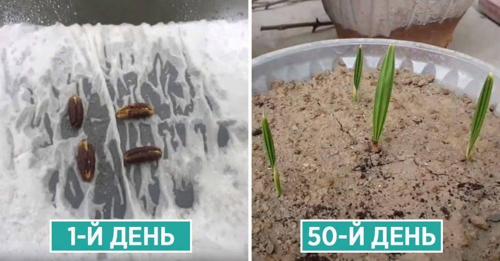 Кокосовая пальма в домашних условиях: как вырастить кокос