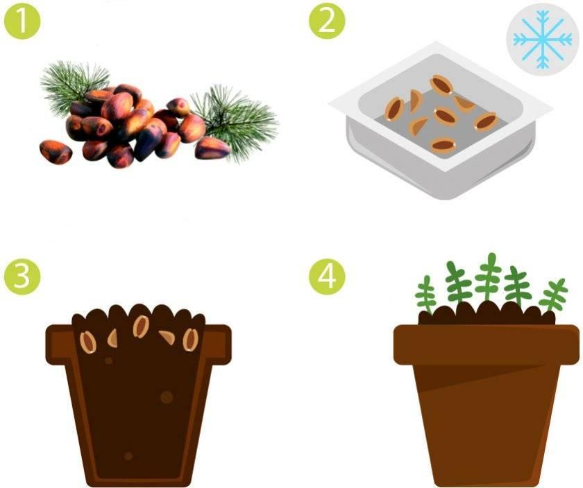 Как вырастить кедр из орешка в домашних условиях. как посадить и ухаживать за растением