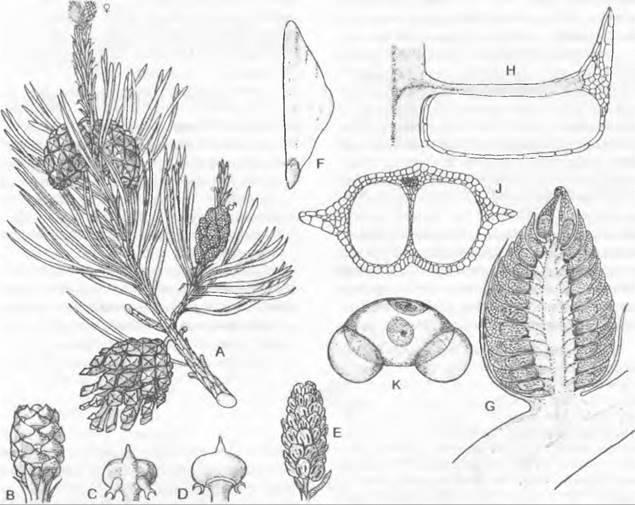 Иглица, рускус: фото разновидностей, советы по размножению и уходу