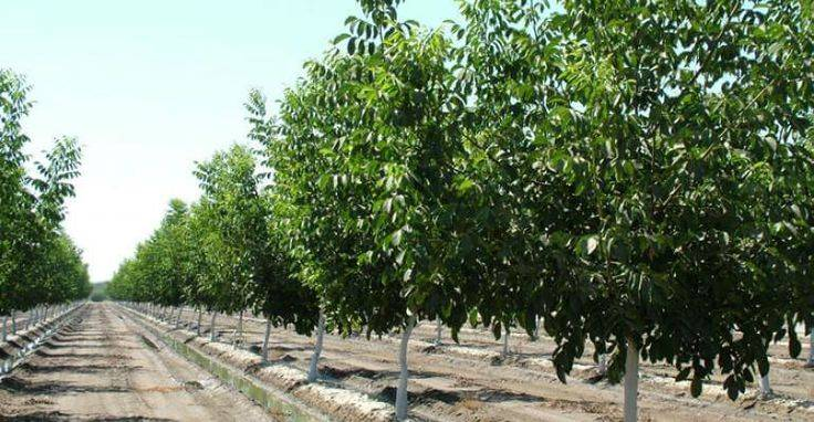 Посадка грецкого ореха осенью из ядер (плодов) ореха