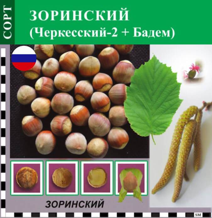 Сорта фундука: описание и характеристики 30 лучших, урожайность, критерии выбора