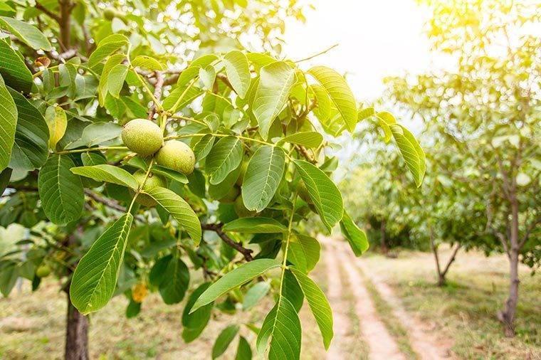 Все о грецком орехе: что это, где и как растет? польза и вред, выращивание и другие нюансы