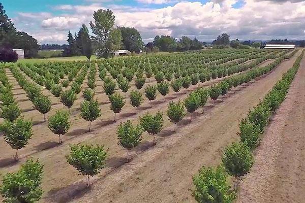 Промышленное выращивание фундука | аппяпм
