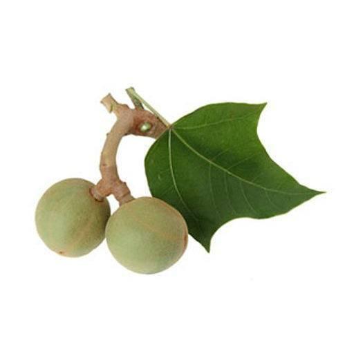 Орехи кукуи — плоды свечного дерева