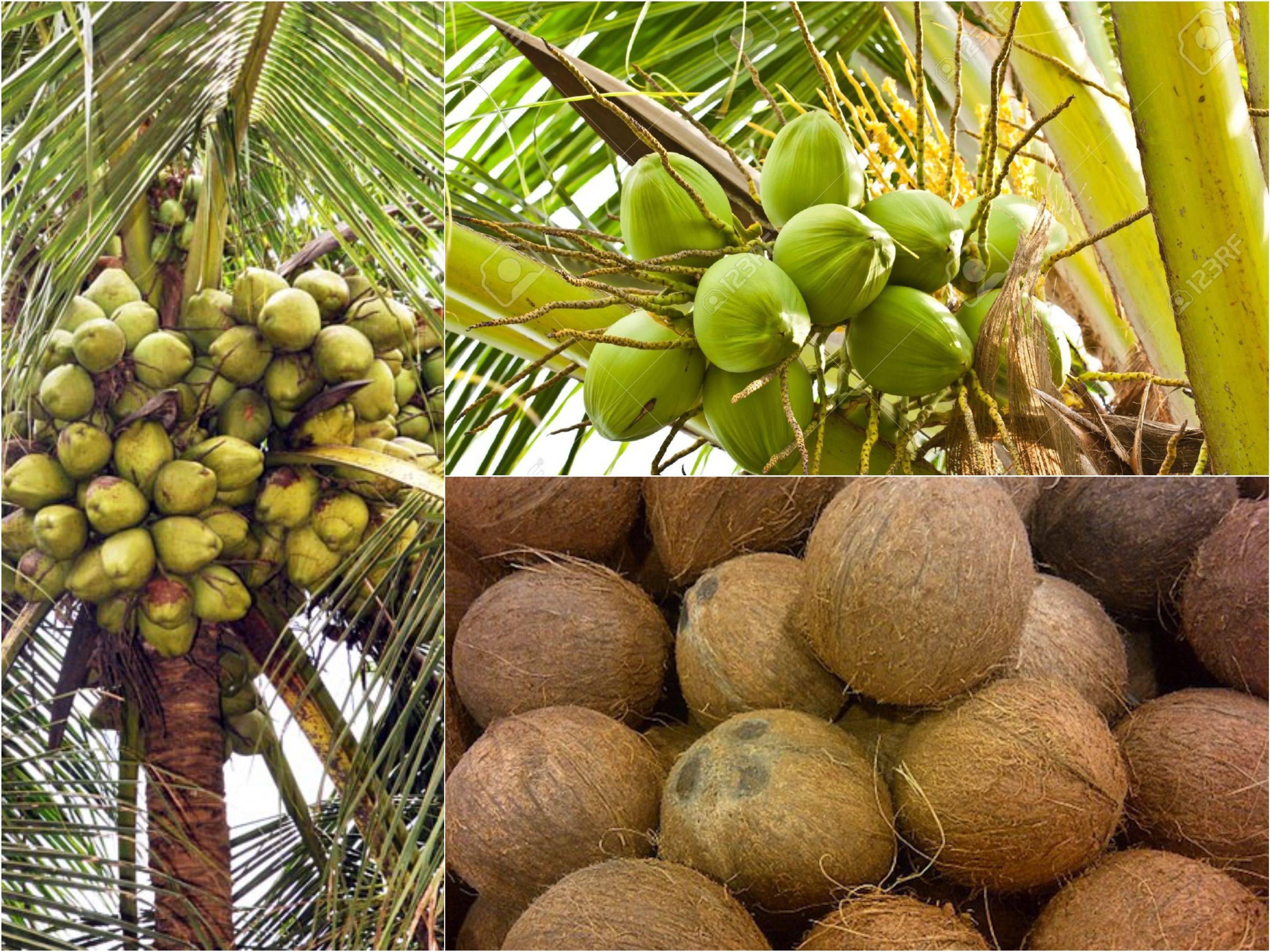 Все о том, как и где растут кокосы. Родина, описание дерева и время созревания