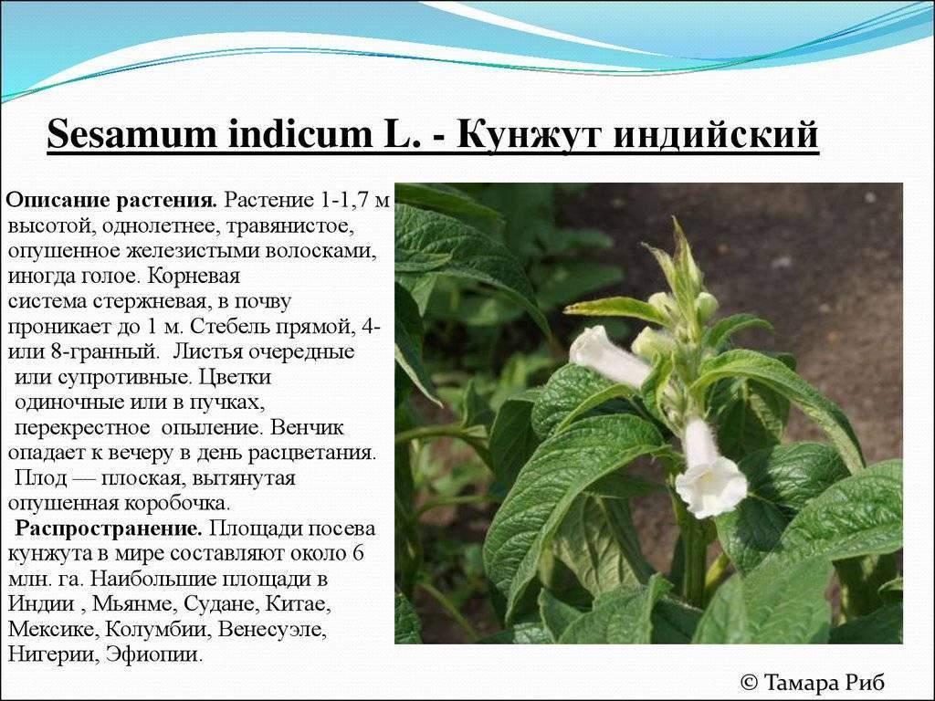 Как растет кунжут? где в россии растет сезам?