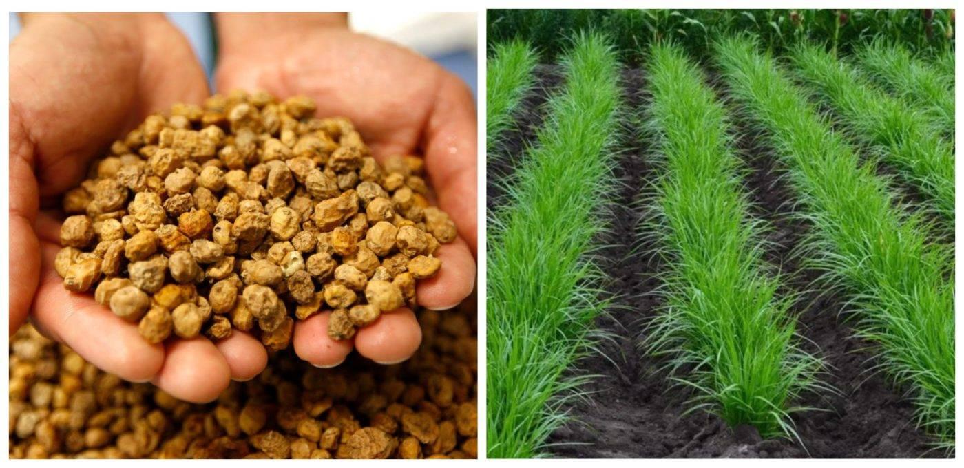 Земляной миндаль (чуфа): правила выращивания и полезные свойства