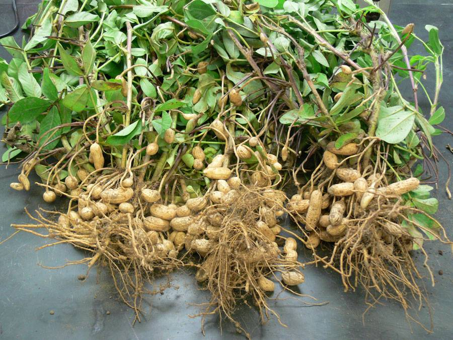 Актуальная информация: как вырастить арахис на огороде