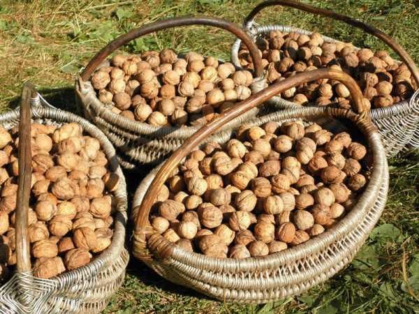 Где и как растет грецкий орех: как выглядит дерево, когда созревает, когда собирать