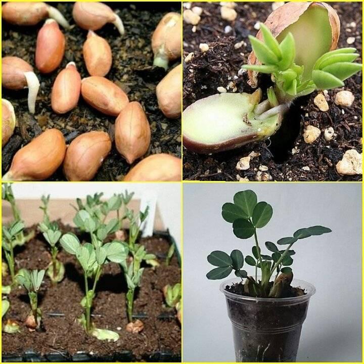Как вырастить арахис - главные принципы ухода и посадки земляного ореха