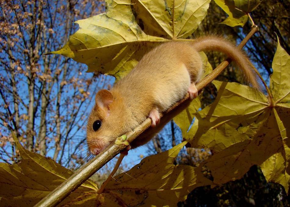 Орешниковая соня, или мушловка | мир животных и растений