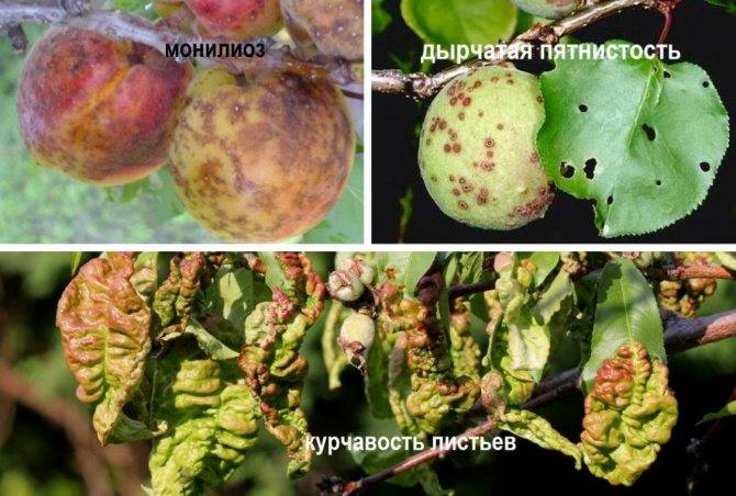 Зимостойкие сорта миндаля: топ лучших разновидностей, подходящие регионы выращивания, меры по спасению подмороженных экземпляров