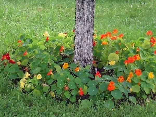Что посадить в приствольном круге плодовых деревьев | zelenysad.ru