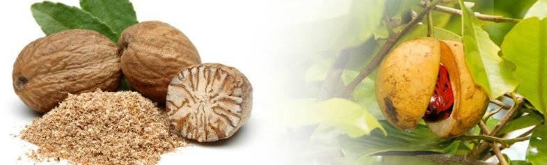Особенности мускатного ореха