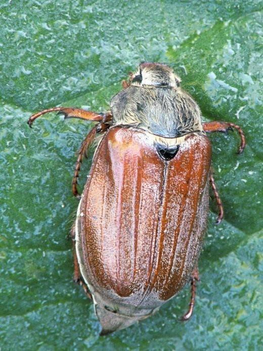 Чем отличается майский жук от июньского?