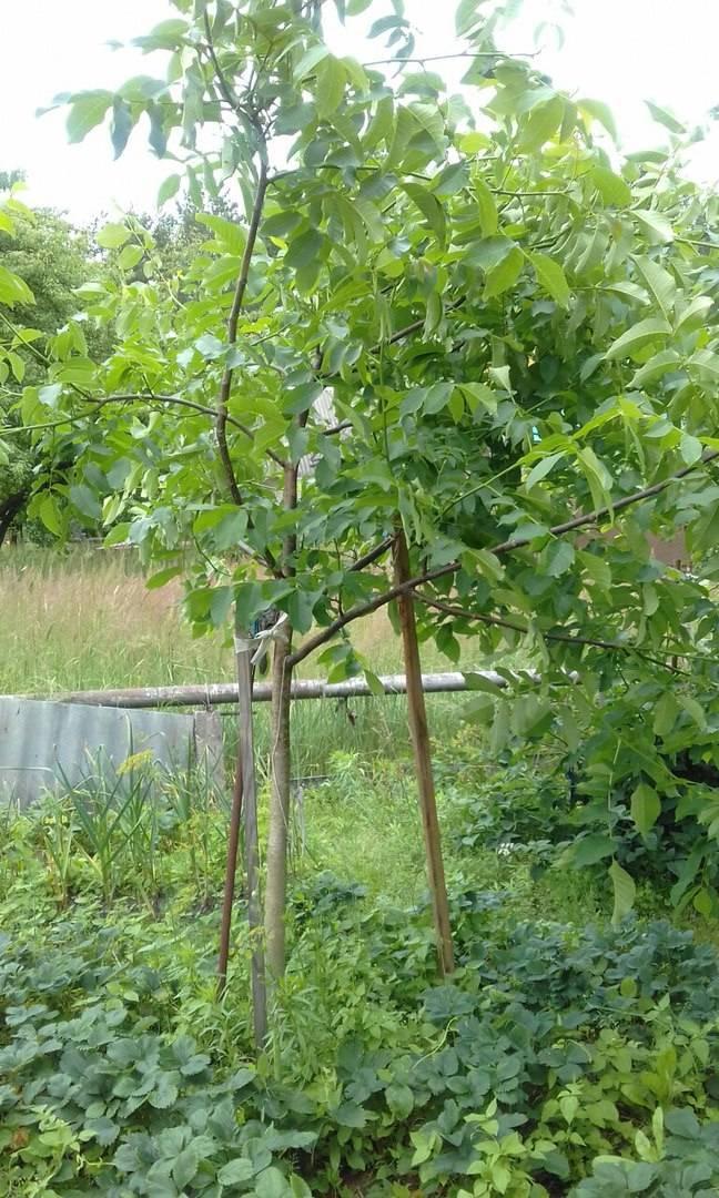 Скороплодный грецкий орех в нашем саду