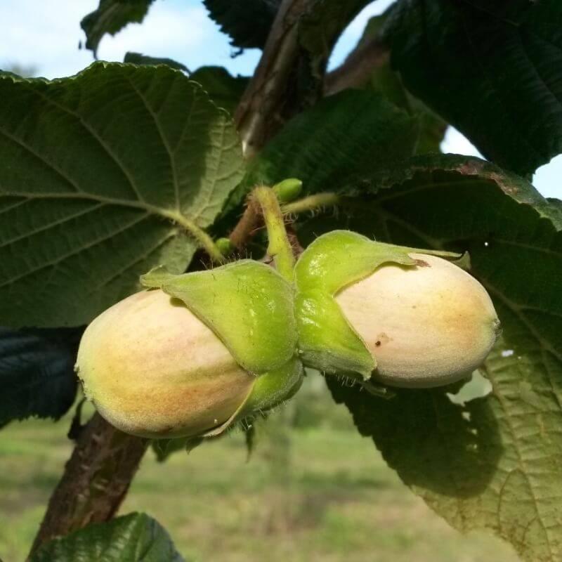 Дикий лесной орех: фундук и лещина, где растёт, в чём разница и что между ними общего
