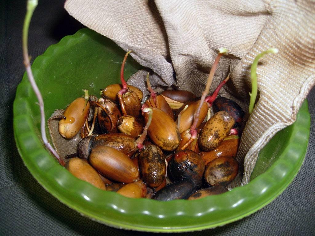 Как вырастить из желудя дуб в домашних условиях