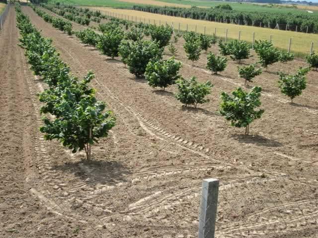 Как вырастить фундук в краснодарском крае