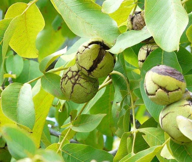 Почему грецкий орех чернеет: причины и лечение болезней дерева