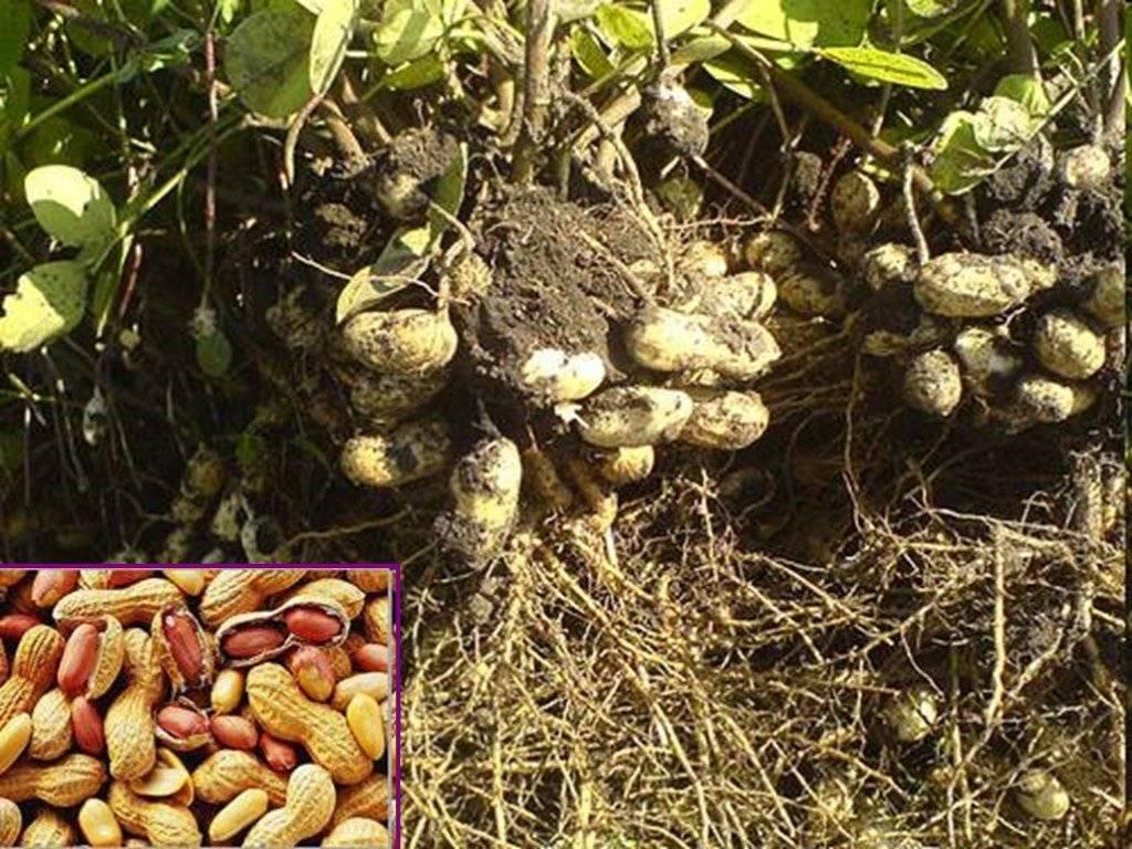 Можно ли вырастить арахис на даче или в теплице в подмосковье? особенности выращивания