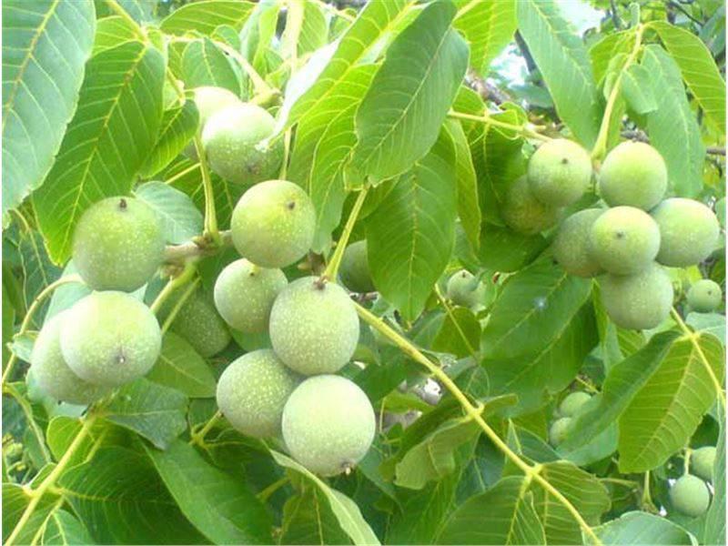 Оквэд 01.25.3 выращивание орехоплодных культур