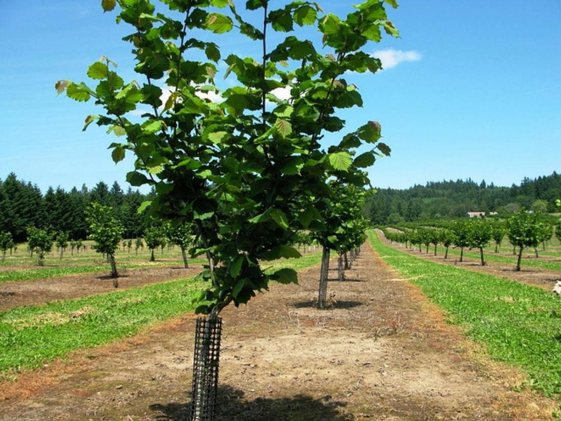 Фундук – выращивание на дачном участке в советах опытных садоводов