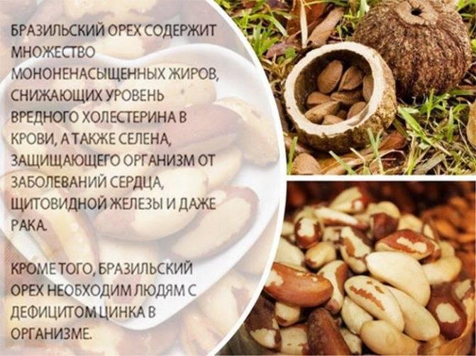 Польза бразильского ореха — свойства, особенности употребления и опасность передозировки (75 фото + видео)
