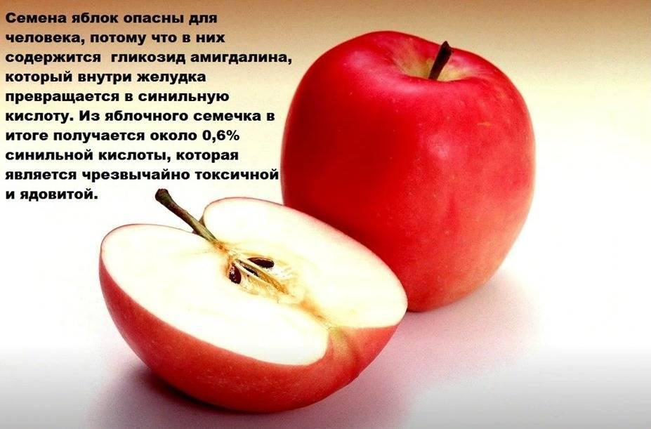 Яблоки: польза и вред для организма человека, для здоровья
