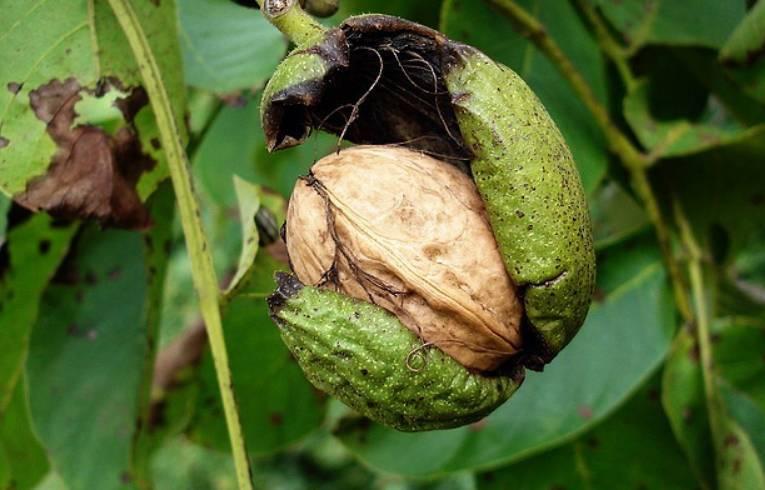 Когда собирать зеленый грецкий орех: сроки и правила, как сохранить