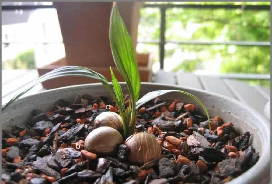Кокосовая пальма: уход в домашних условиях, научное название, описание видов, болезни и вредители