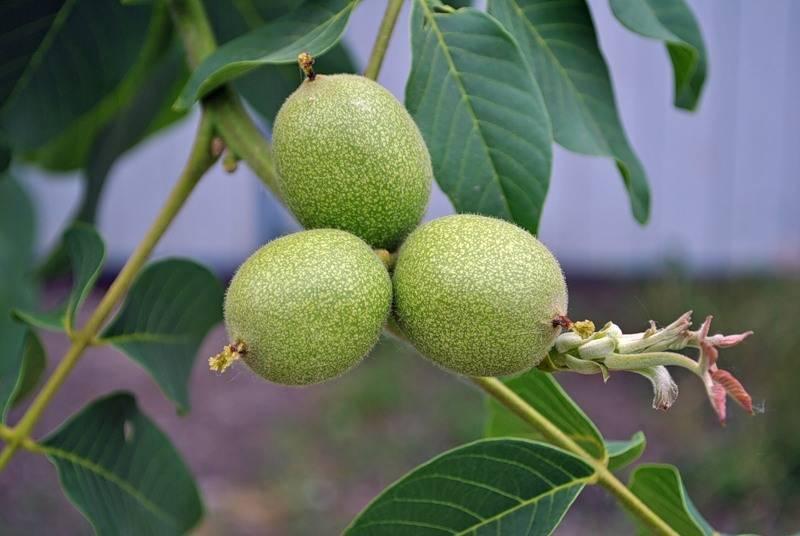Зеленый грецкий орех: противопоказания, полезные свойства, химический состав, польза и вред и лечебны ли молодые незрелые плоды и чем, в каких ядрах больше йода?