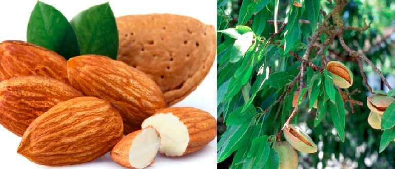 Миндаль: польза и вред орехов для организма человека
