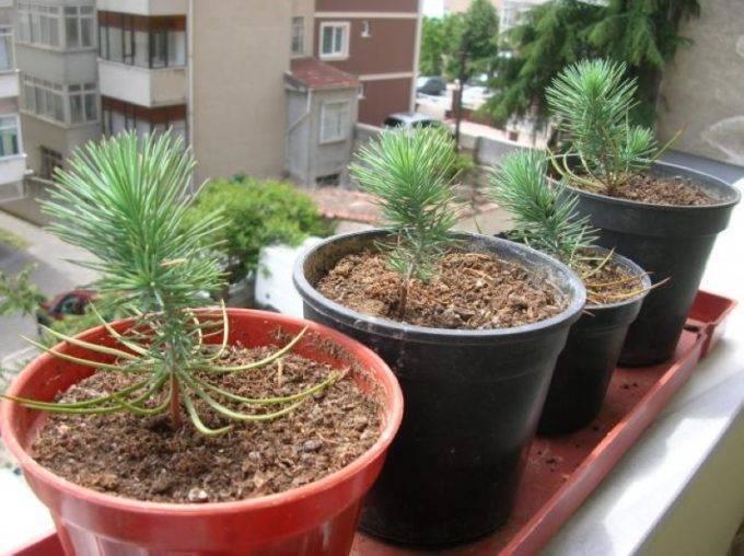 Итальянская сосна (pinus pinea)