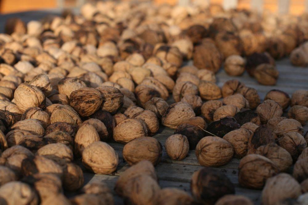 Как правильно сушить грецкие орехи в домашних условиях: способы как правильно сушить грецкие орехи в домашних условиях: способы