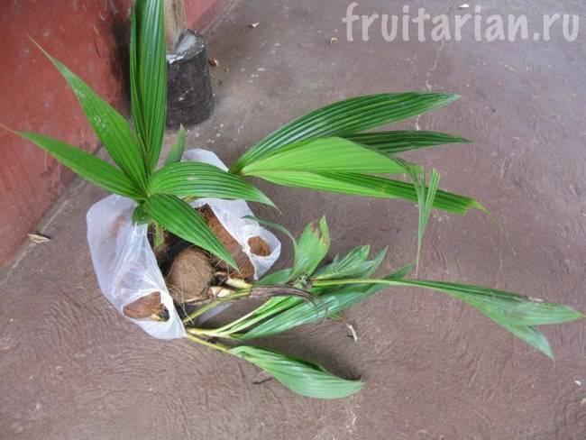 Как вырастить кокос в домашних условиях