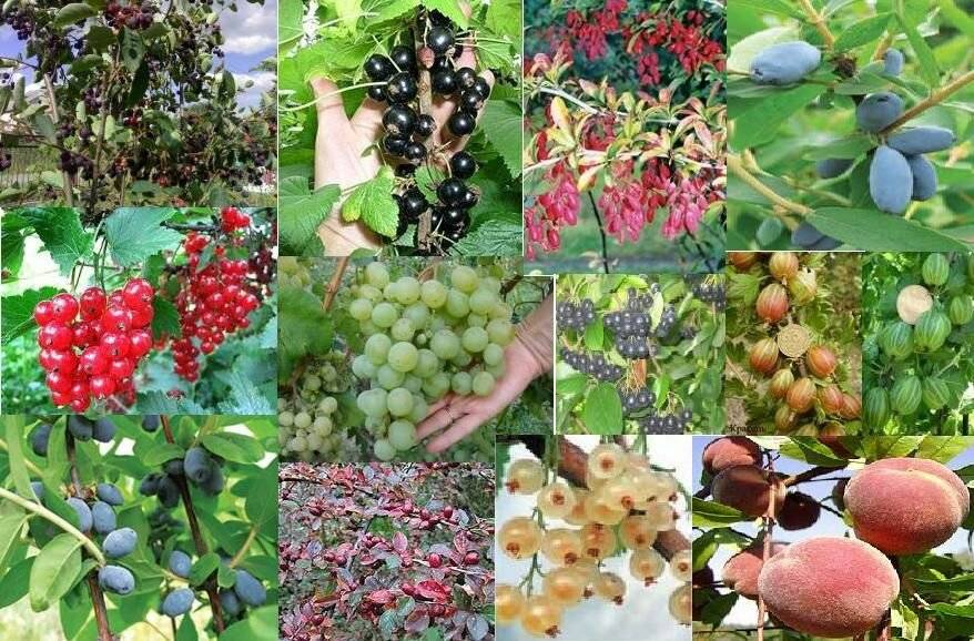 Как и где растет орех пекан: описание что это такое, его свойства, фото и видео о самостоятельном выращивании дерева