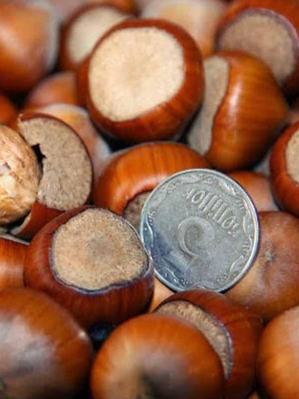 Сорта фундука: описания и фото - блог фермера