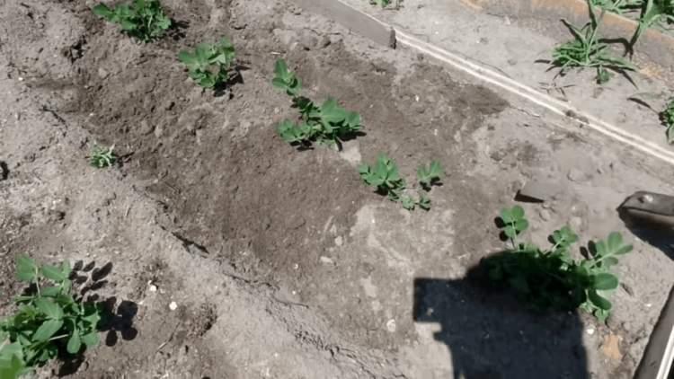 Как вырастить арахис на огороде и дома в горшке?