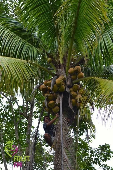 Как выглядит шоколадное дерево из какао бобов