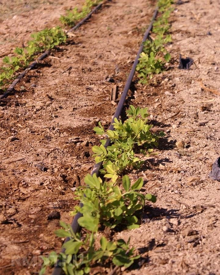 Как растёт арахис: как выращивать арахис на огороде в теплице в средней полосе + фото