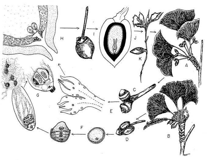 Гелиопсис: выращивание из семян, черенкование и деление куста | сажаем сад