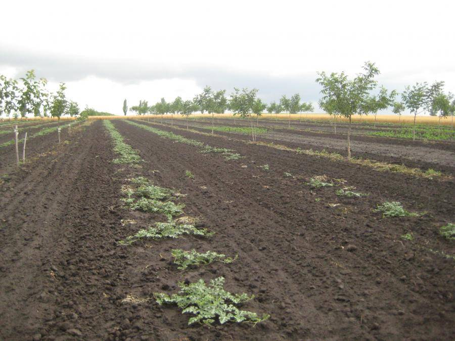 Как узнать пригодность участка для посадки сада грецкого ореха